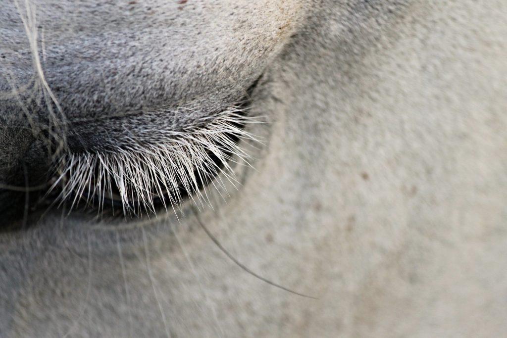 horse's eyelashes